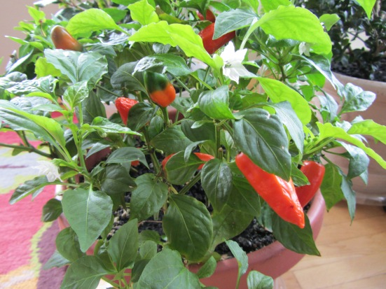 Edible Container Sweet Peppers Keep On Producing in Winter