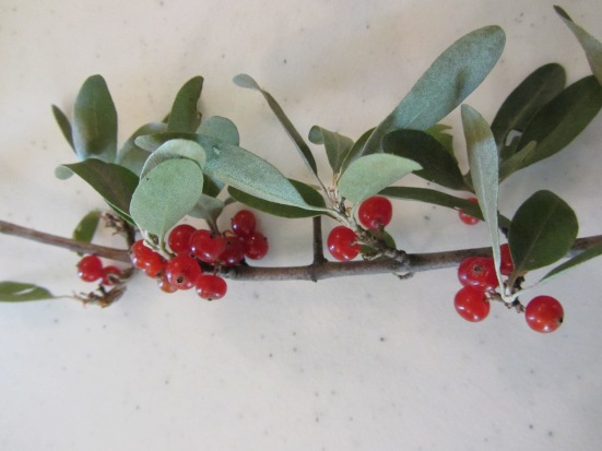 Native Plants Of Our Region- Buffalo-berries