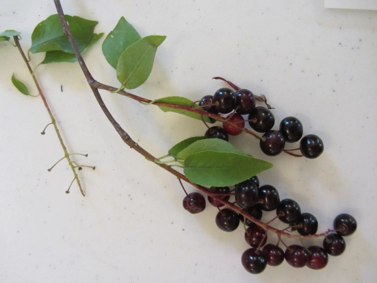 Native Plants Of Our Region- Chokecherries