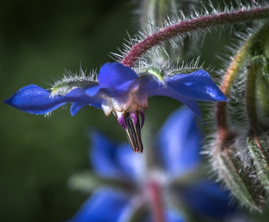 borage_(1_of_1)