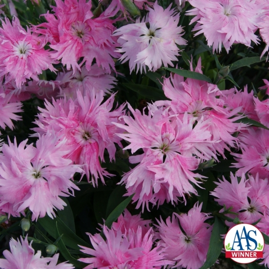 Dianthus-Interspecific-Supra-Pink-F1