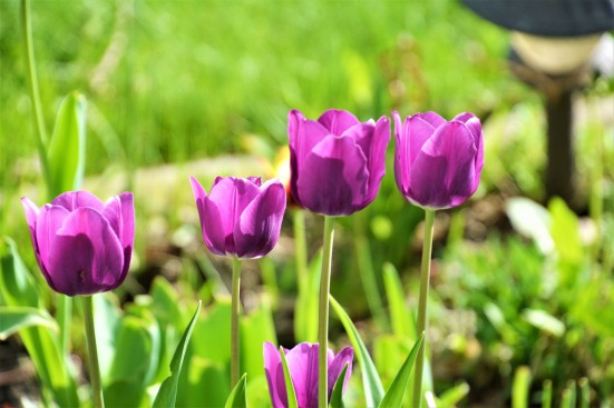 Purple tulips in backyard