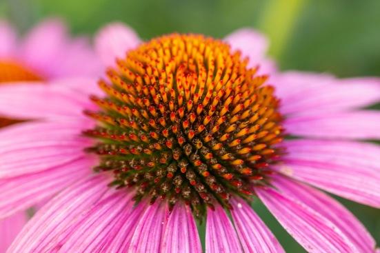 PurpleConeflower-5696