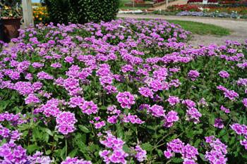 verbena-endurascape-pink-bicolor-dsc01263-1